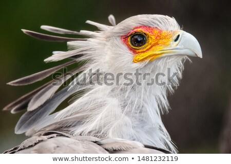 Secretaris vogel portret mooie buit oog Stockfoto © fouroaks