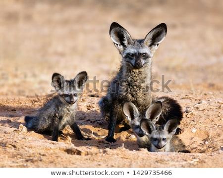 vos · savanne · Botswana · zuidelijk · afrika · natuur - stockfoto © romitasromala
