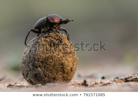 Dung Beetle with Dung Ball Stock photo © suerob