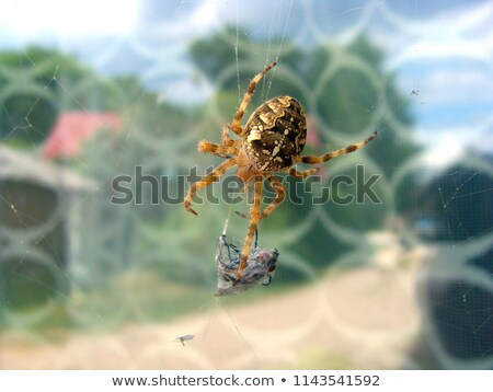 Spider catching flies Stock photo © adrenalina