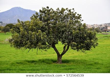 Carob Tree with Carobs Stock photo © Klinker