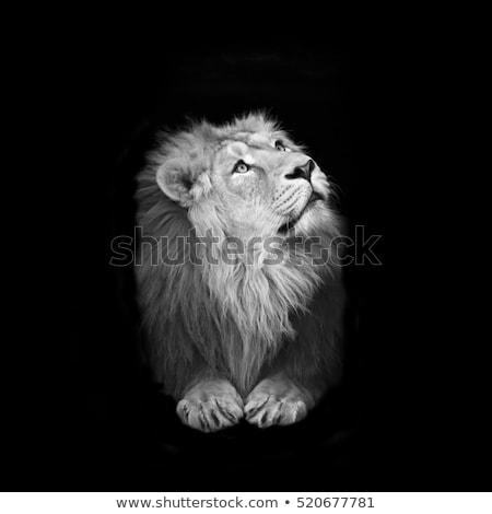 Witte leeuw knap mannelijke kijken buit Stockfoto © fouroaks