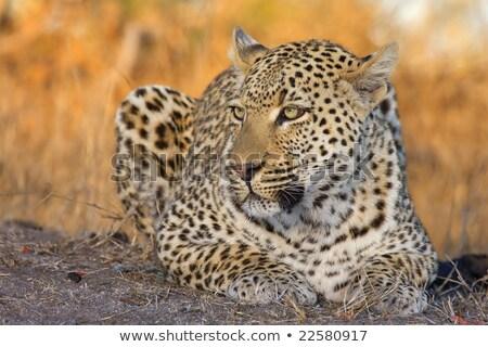 Leopard ЮАР животные фотографии Safari Сток-фото © simoneeman