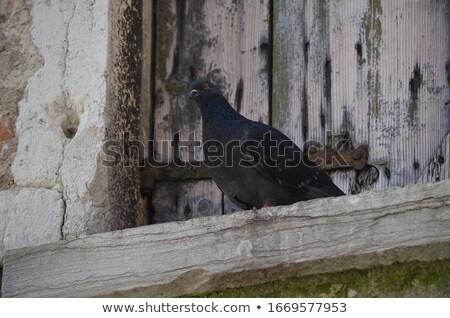 piccione · volo · bella · bianco · ali · libero - foto d'archivio © zurijeta