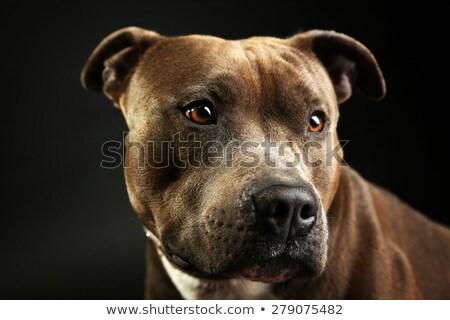 staffordshire terrier in a dark studio stock photo © vauvau