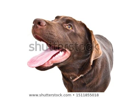 Geel · labrador · retriever · hond · witte · studio - stockfoto © feedough