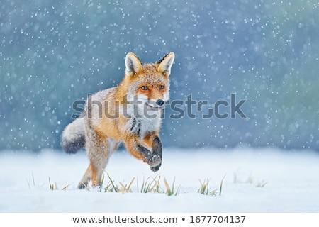 red fox in winter stock photo © adrenalina