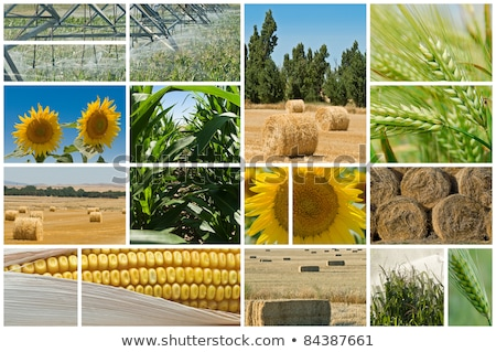 Sunflowers farming and agriculture photo collage Stock photo © stevanovicigor