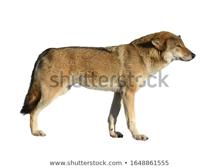 Brown wolf on white background Stock photo © bluering