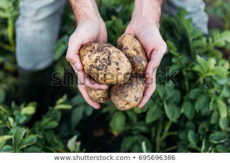 Boerderij werknemer aardappel vrouw voedsel natuur Stockfoto © IS2
