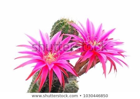 Kaktusz virág közelkép szelektív fókusz trópusi Stock fotó © stevanovicigor