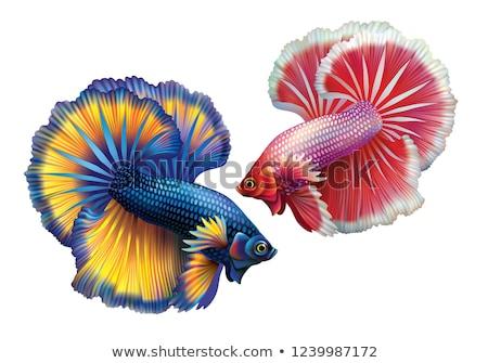 Cockerel aquarium fish Stock photo © studiostoks