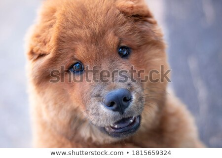 cute chow chow sticking out its blue tongue  Stock photo © feedough