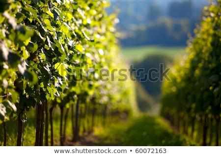 Szőlőskert délnyugat Németország bor farm szőlő Stock fotó © nailiaschwarz