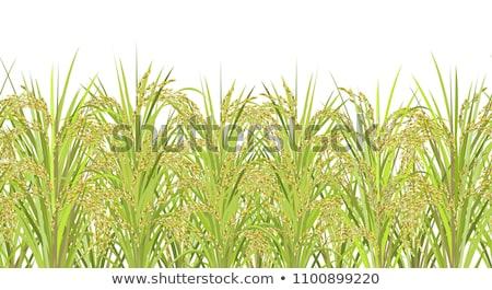 Gabonapehely rizs mezők érett fókusz előtér Stock fotó © lunamarina