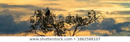 african sea eagle in treetop Stock photo © prill
