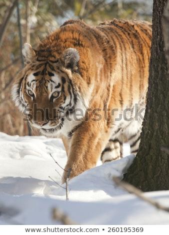 Tiger (Panthera tigris) and mountains with snow Stock photo © ajlber