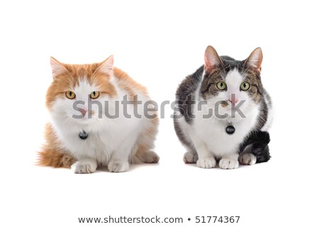 two european short-haired cats, isolated on a white background Stock photo © eriklam