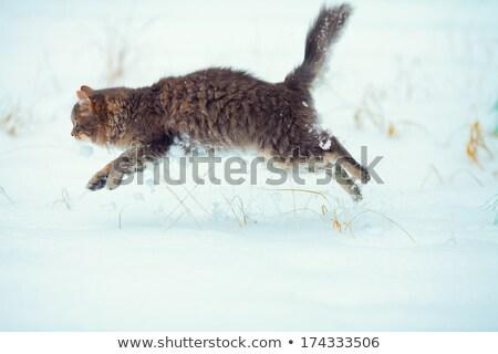 Cinza gato saltando neve gato doméstico branco Foto stock © samsem