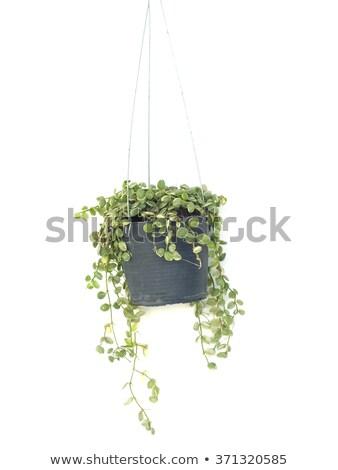 Zöld borostyán edény szép barna kék Stock fotó © cosma