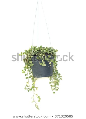 Groene klimop pot mooie bruin Blauw Stockfoto © cosma