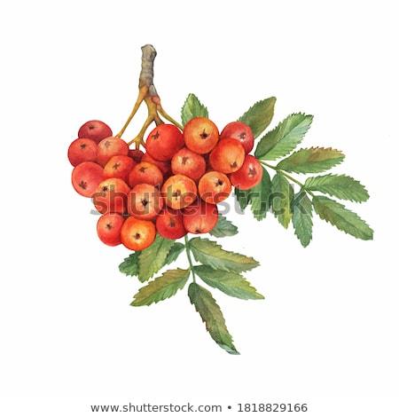 Rood bessen boom blad vruchten gezondheid Stockfoto © Roka