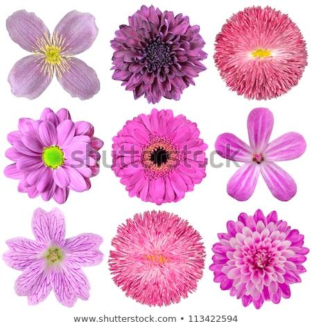 gyönyörű · virág · izolált · fehér · virágok · szépség - stock fotó © lenapix