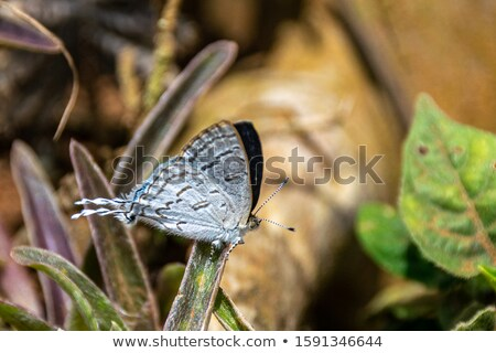 Blue and Brown Moth on a Leaf Stock photo © rhamm