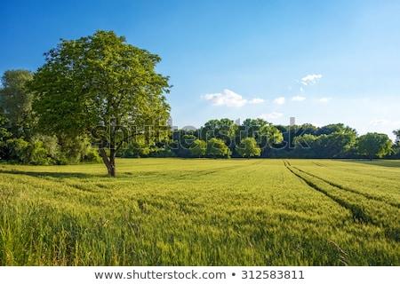 Ağaç alan yalnız çiftlik mavi gökyüzü kabarık Stok fotoğraf © ajn