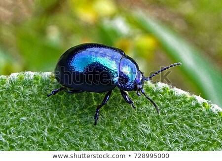Kék bogár levél kicsi ül befejezés Stock fotó © thomaseder