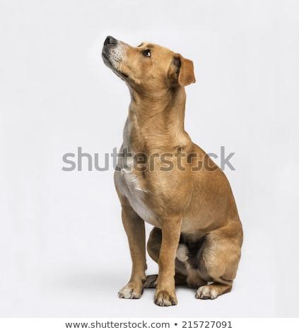 Cross breed dog looking up Stock photo © ivonnewierink