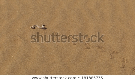 Young dune adder or sidewinder snake with trail Stock photo © michaklootwijk