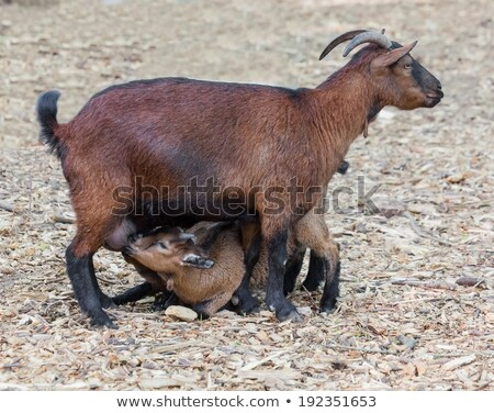 goat feed their young cubs  Stock photo © OleksandrO