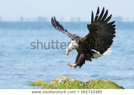 bald eagle on a rock stock photo © searagen