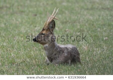 Ikra szarvas természet tájkép áll Stock fotó © ivonnewierink