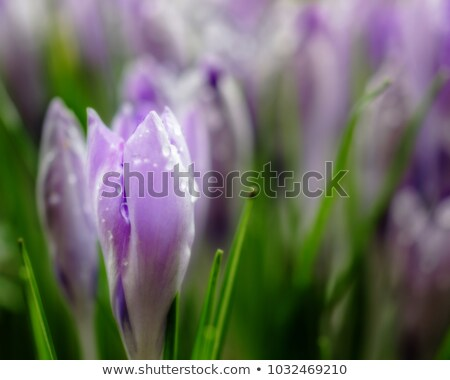 close up of tulip flower meadow isolated with waterdrops stock photo © nelosa