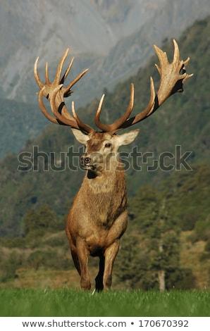 Deer Farming Stock photo © rghenry