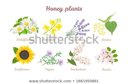 Flowers of acacia Stock photo © Nneirda