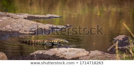 Foto stock: Belo · monitor · lagarto · marrom · amarelo