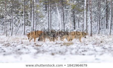 Gray Wolf Stock photo © nialat