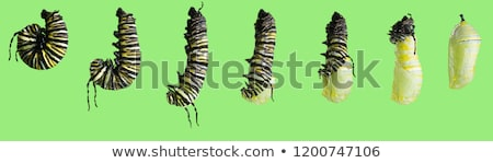 Pupa - Danaus plexippus Stock photo © bluering