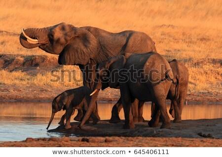 Afryki · Bush · słoń · woda · pitna · zielone · Hill - zdjęcia stock © markdescande