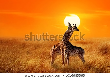 giraffe in african landscape at sunset stock photo © adrenalina