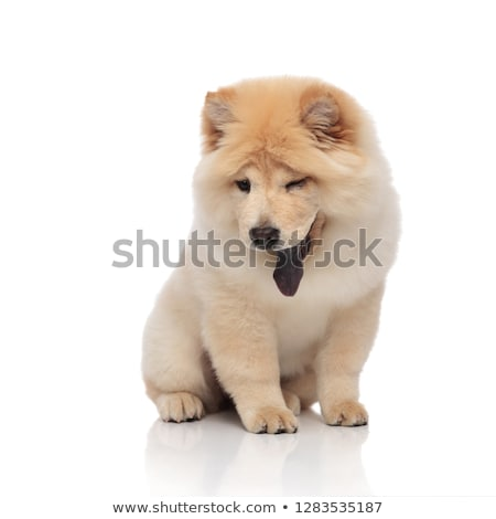 cute chow chow sitting while looking down to side Stock photo © feedough