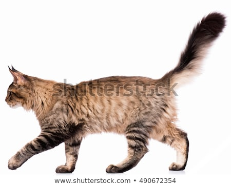 adult black tabby Maine Coon Stock photo © CatchyImages