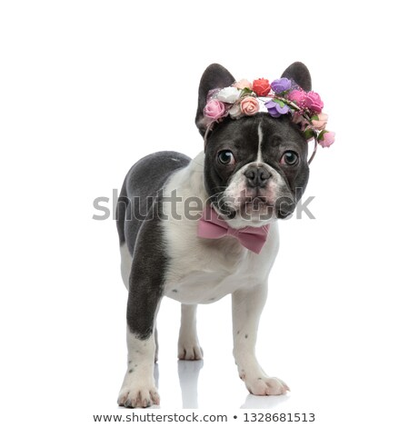 french bulldog with pink bowtie and rose tiara Stock photo © feedough