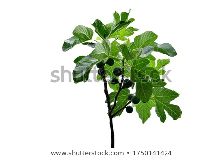 Figs on the branch of a fig tree Stock photo © galitskaya