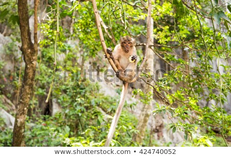 long-tailed macaque, Macaca fascicularis looking for food in the river. The forest of monkeys in Ubu Stock photo © galitskaya