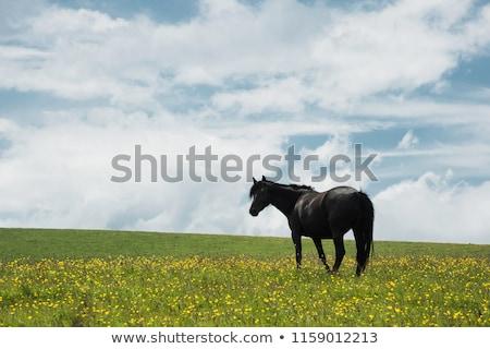 black horse on green field stock photo © vapi