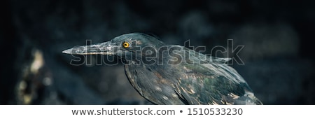 Striated Heron on Galapagos Islands foraging and catching and eating food Stock photo © Maridav